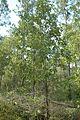 Quercus laevis (23517991543).jpg
