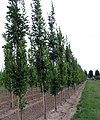 Quercus palustris 'Green Pilar'.jpg