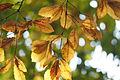 Quercus serrata (23418694443).jpg