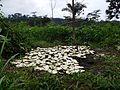 Récolte de Cucumeropsis mannii (2).jpg