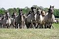 RGN Foto Wildpferde im Merfelder Bruch YU7X4351.jpg