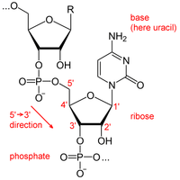 ácido Ribonucleico Wikipedia La Enciclopedia Libre