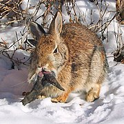 Rabbit Shopes Papilloma Virus 3