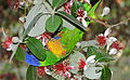 Rainbow lorikeet, Trichoglossus haematodus, feeding on flowers at the Royal Botanical Garden, Sydney, Australia (17045558156).jpg