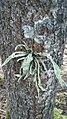 Ramalina fraxinea 62912668.jpg
