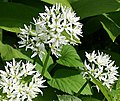 Ramsons - Allium Ursinum - geograph.org.uk - 168630.jpg