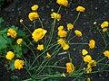 Ranunculus acris 'Multiplex' Nappiniittyleinikki H5687 C.jpg
