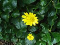 Ranunculus ficaria c.JPG