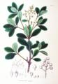 Raphiolepis japonica SZ85.png