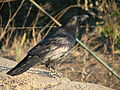 Raven in Tilden Park, California.jpg