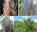 Ravenala varieties.jpg