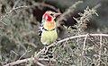 Red-and-Yellow Barbet (Trachyphonus erythrocephalus) (46524923292).jpg