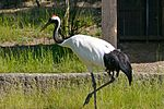 Red-crowned Crane 1.jpg