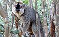 Red-fronted brown lemur 1.JPG