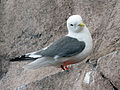 Red-legged Kittiwake RWD2.jpg