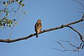 Red-shouldered Hawk (Buteo lineatus lineatus) (5055196887).jpg