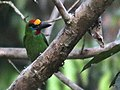 Red-throated barbet.jpg