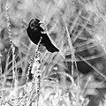 Red-winged blackbird, B&W -1 (14307369008).jpg