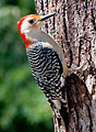 Red Bellied Woodpecker by Bonnie Gruenberg.jpg