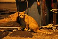 Red Cat in Procida 4442.jpg