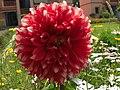 Red Dahlia - Flickr - Swami Stream.jpg