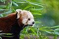 Red Panda (37452499826).jpg