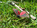 Red and black butterfly (5513125216).jpg