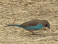 Red cheeked cordon bleu in Tanzania 3052 cropped Nevit.jpg