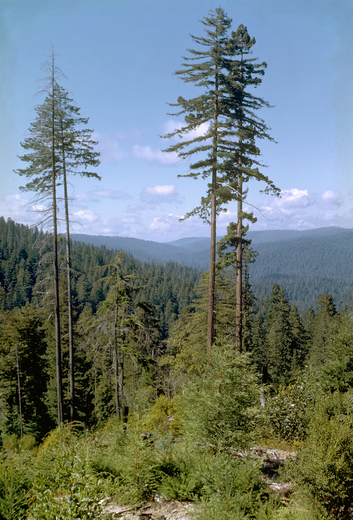 Hyperion (tree) - Wikipedia