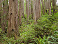 Redwoods Jedediah Smith Redwoods State Park 1.jpg