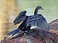Reed Cormorant RWD4.jpg