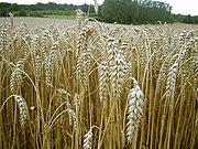 Reife Weizenähren