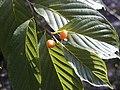 Rhamnela franguloides.jpg
