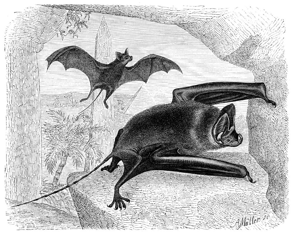 The average litter size of a Greater mouse-tailed bat is 1