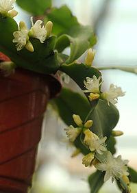 Rhipsalis Crispata.jpg