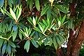 Rhododendron arboreum 03.jpg