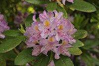 Rhododendron carolinianum (41263260375).jpg
