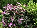Rhododendron catawbiense 19.JPG