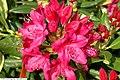 Rhododendron catawbiense Nova Zembla 1zz.jpg