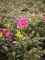 Rhododendron ferrugineum 002.JPG
