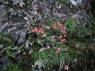 Rhododendron indicum satuki01.jpg