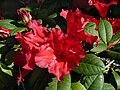 Rhododendron repens 'Bad Eilsen' J2.JPG