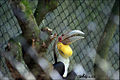 Rhyticeros undulatus -Zoo Negara -Malaysia-8a.jpg