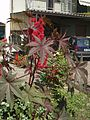 Ricinus communis fiorito.jpg