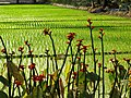 Ride Paddy with Flowers - Sukumari Village - Sundarban District - South of Kolkata - India (12346868533).jpg