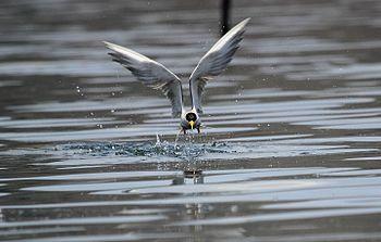 River Tern in flight.jpg