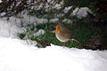 Robin Taking Shelter From The Snow (4250442221).jpg