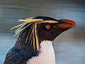 Rock hopper Penguin (11280215136).jpg