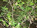 Rodos, Petaloudes, Dolina Motyli(Aw58) DSC08777.JPG