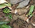 Rohdea japonica (root).jpg